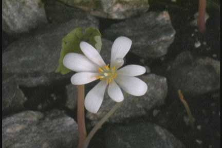 BLOODROOT-BLOSSOM-2