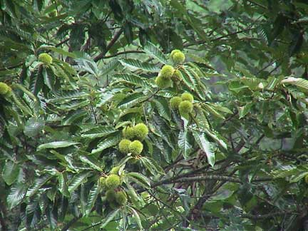 Chinese Chestnut Nuts