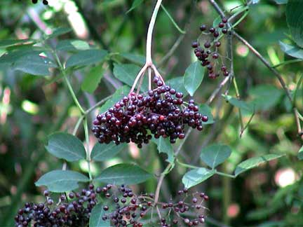 Elderberries