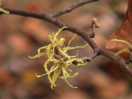 Fall Witch Hazel Flower
