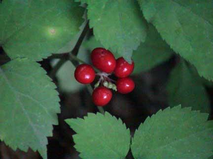 Ginseng Berry