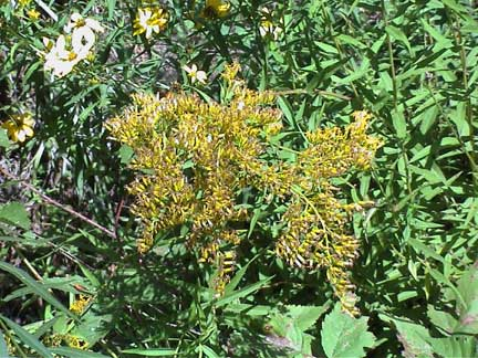 Golden Rod Sweet