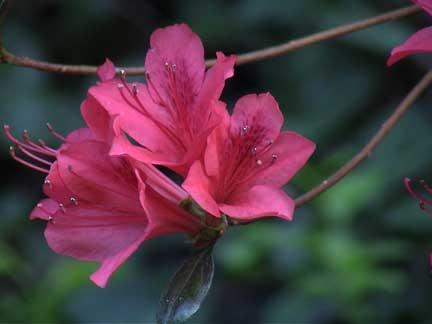 Pink Azellia