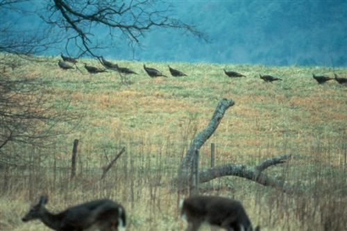 Deer & Turkey in Cades Cove