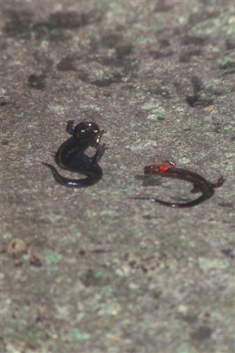 Red-cheeked Salamanders