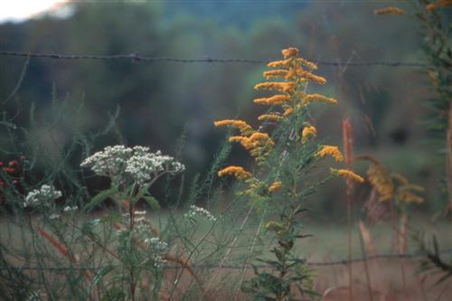 Goldenrod & Yarrow