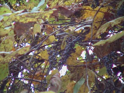 Wild Possum Grape